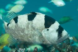 BD-151225-Apo-9975-Pogonoperca-punctata.-Günther.-1859-[Spotted-Soapfish].jpg